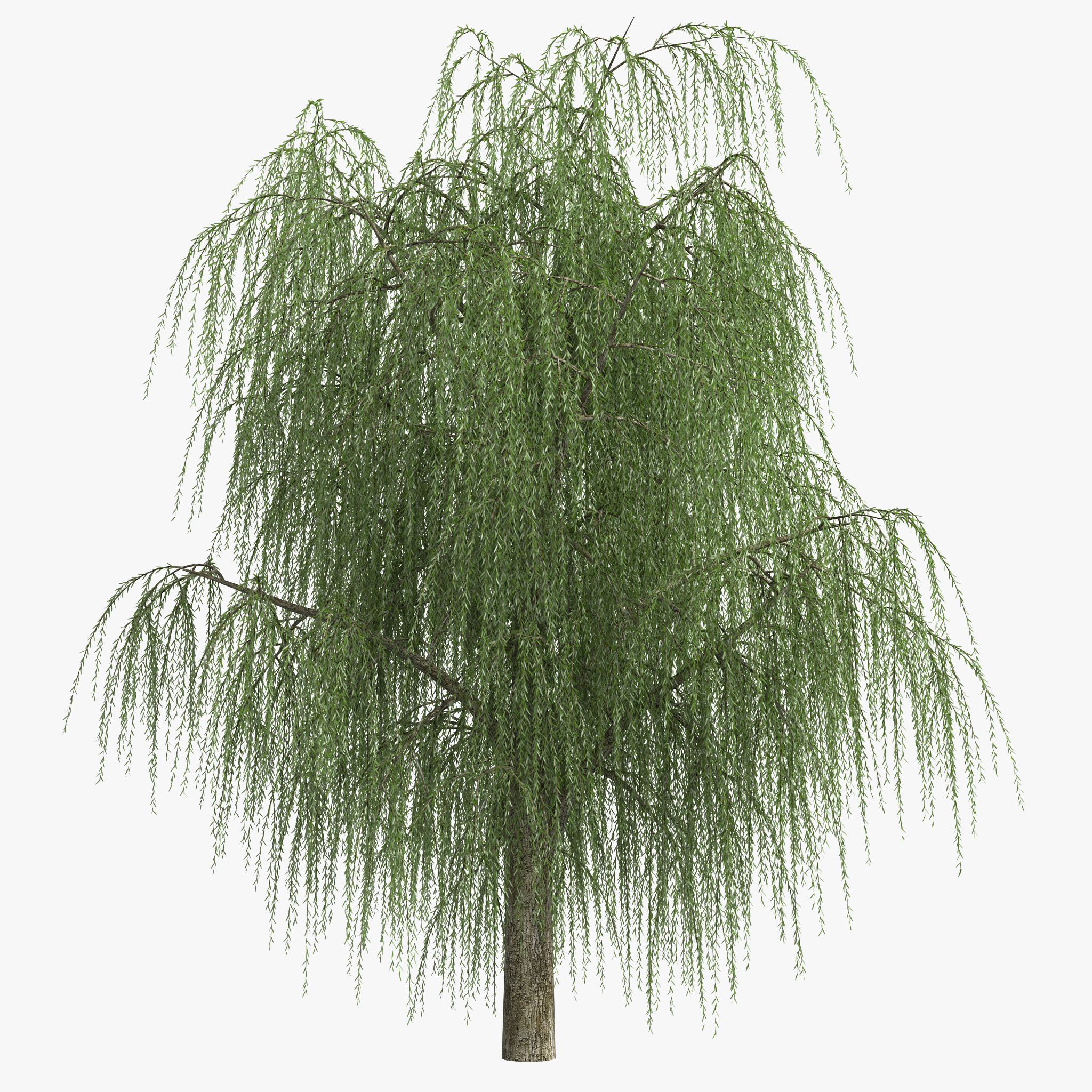 3d weeping willow model