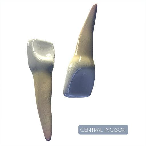 central incisor 3d model