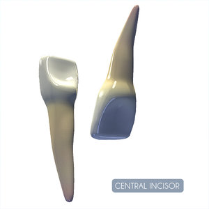 central incisor 3d model