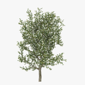 pear tree flowering 3d model