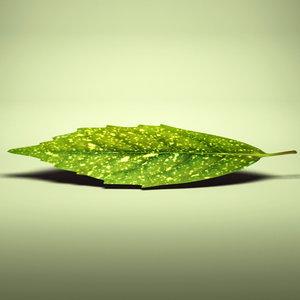 japanese laurel aucuba japonica 3ds