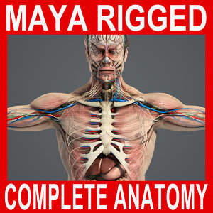 rigged complete male anatomy 3d ma
