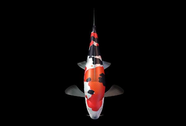 3d koi fish