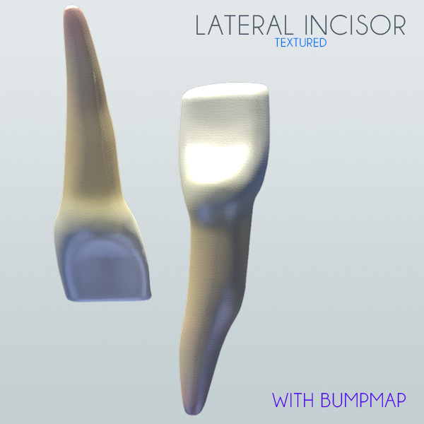 lateral incisor 3d 3ds