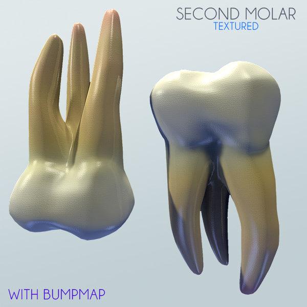 3d second molar model