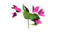 bougainvillea flowers 3d obj