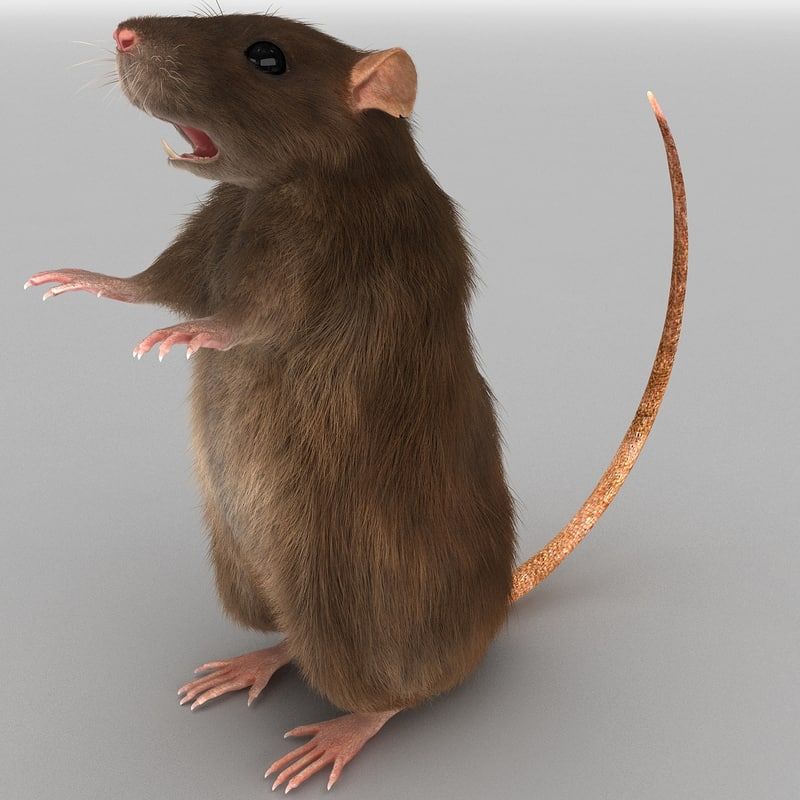 3d model of rat pose 3 fur