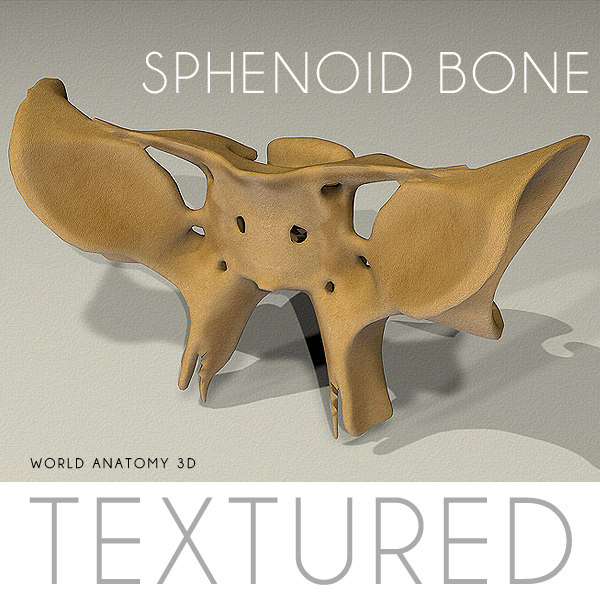 anatomy sphenoid bone, Human Body