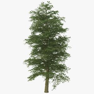european beech tree 3ds