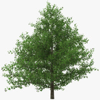 black alder tree alnus 3d model