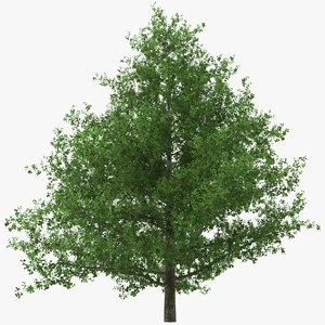 black alder tree alnus 3d model