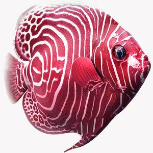 max emperor angelfish