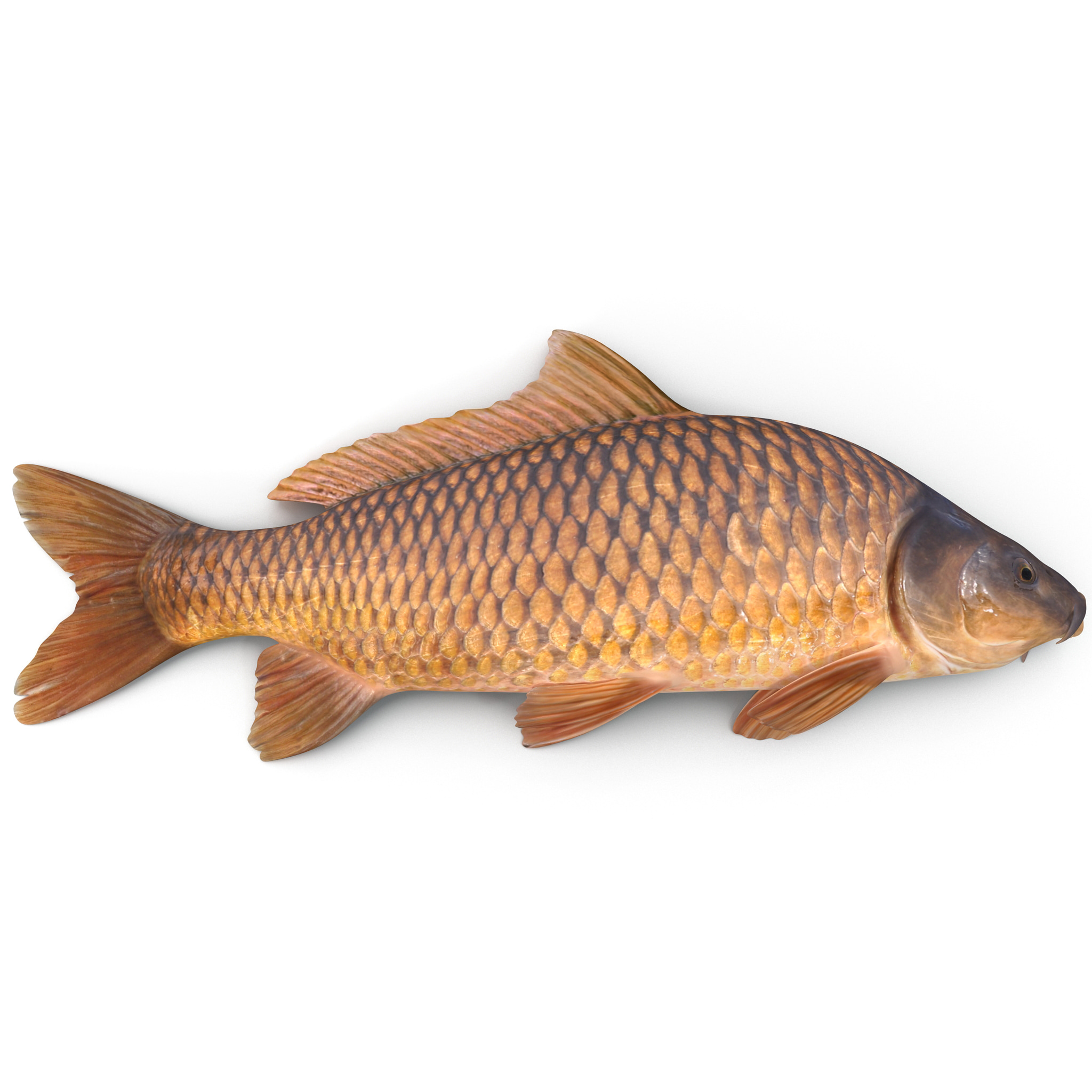carp fish max