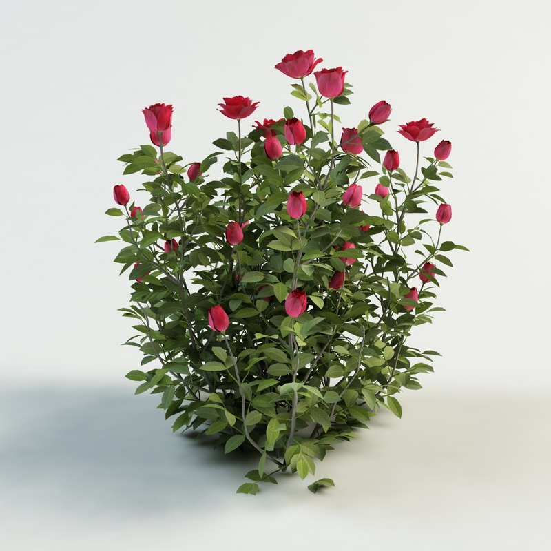 3d 3ds rose bush - Planting rose shrub step ...