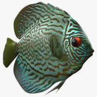 symphysodon aequifasciata fish max