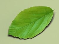 persian ironwood parrotia persica 3d max