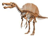 dino spinosaurus skeleton