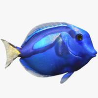 max blue surgeon tropical fish