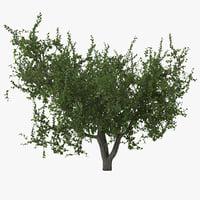 3d apricot tree 2