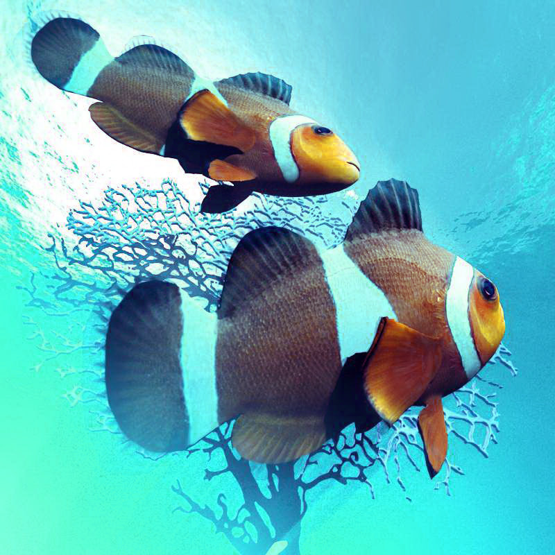 clownfish ocellaris 3d model