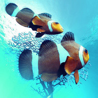 clownfish ocellaris 3d model