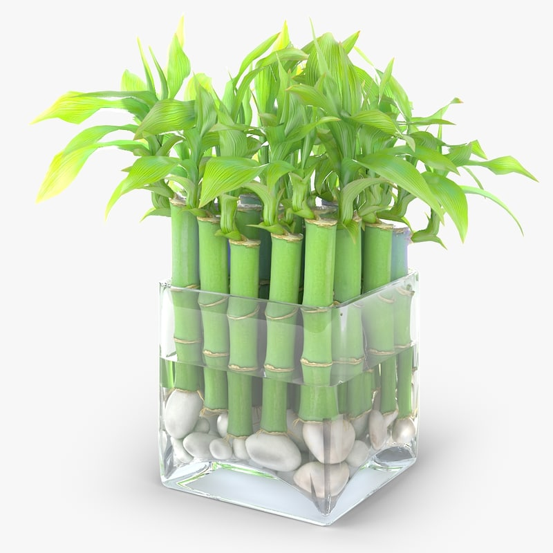 3d lucky bamboo plant