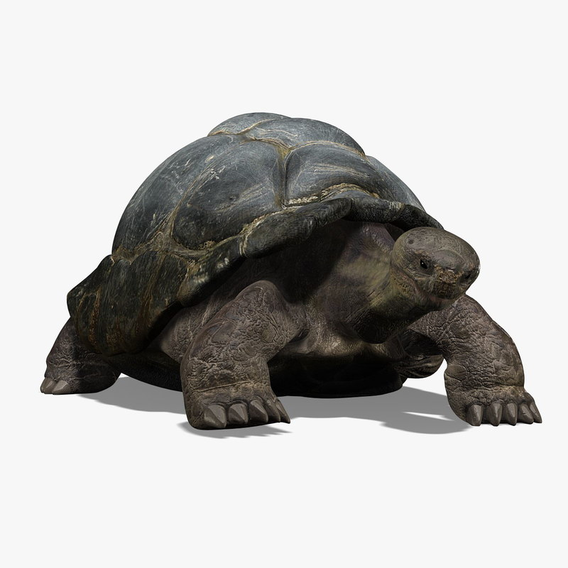 3d galapagos tortoise animation