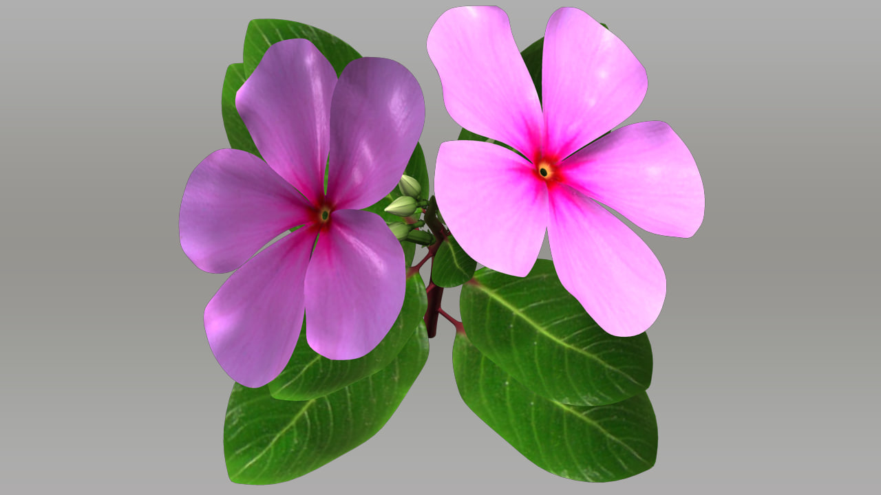 3d catharanthus flowering plants