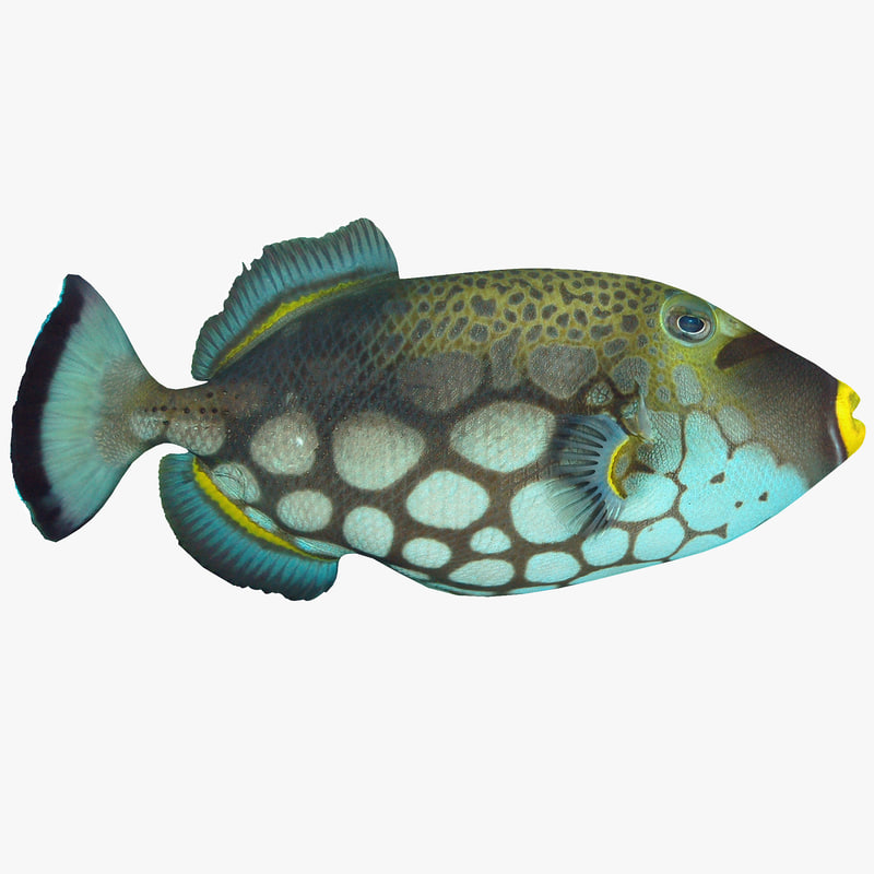 clown triggerfish max