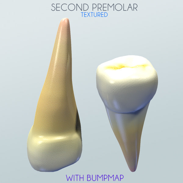 second premolar 3d obj