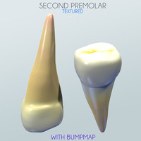 Human Second Premolar textured