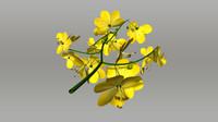 cassia tree 3d obj