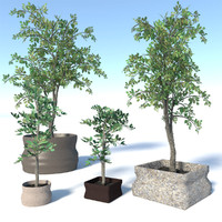 Potted Ficus Benjamina Tree Set