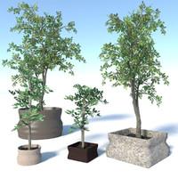 maya tree pot