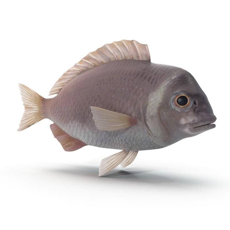 max sea bream fish