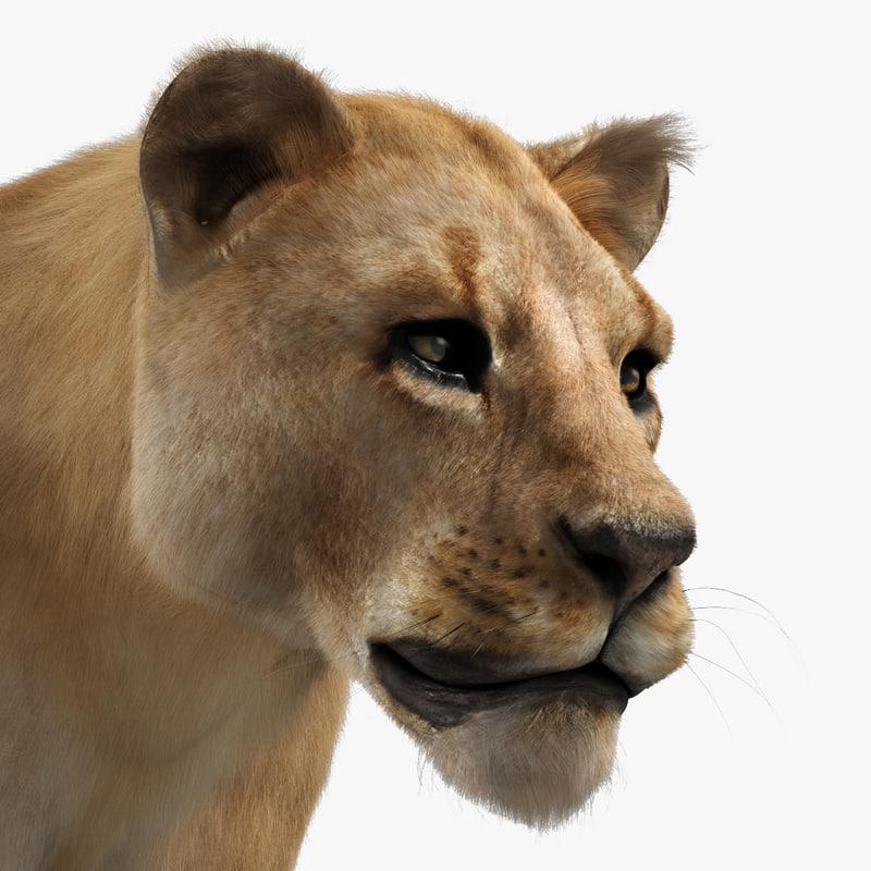 3d lioness adult fur
