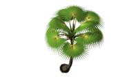 3d borassus flabellifer male plant