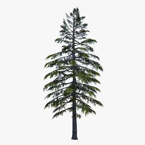 spruce tree max