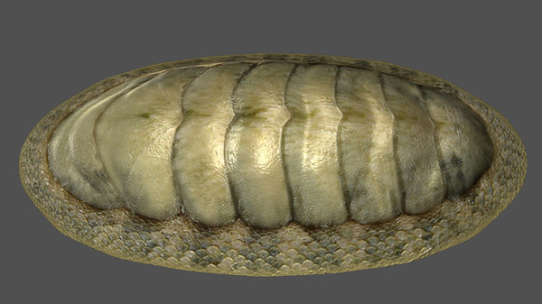 3d chitons model