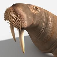 walrus lwo