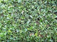 green leaves.jpg