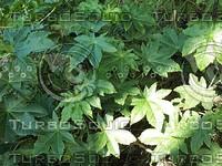 sweet gum plants.jpg