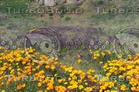 fieldpoppy.jpg