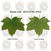 SPT_MapleLeaf001
