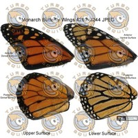 SPT_MonarchButterflyWings001