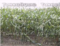 Corn02.jpg