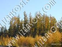 Siberian_forest_P1010481orig.zip
