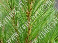 Siberian_forest_P2222458orig.zip
