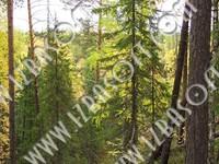 Siberian_forest_P2222526orig.zip