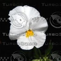 macn008_whitepansy.jpg